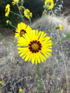 Oroville sunflower
